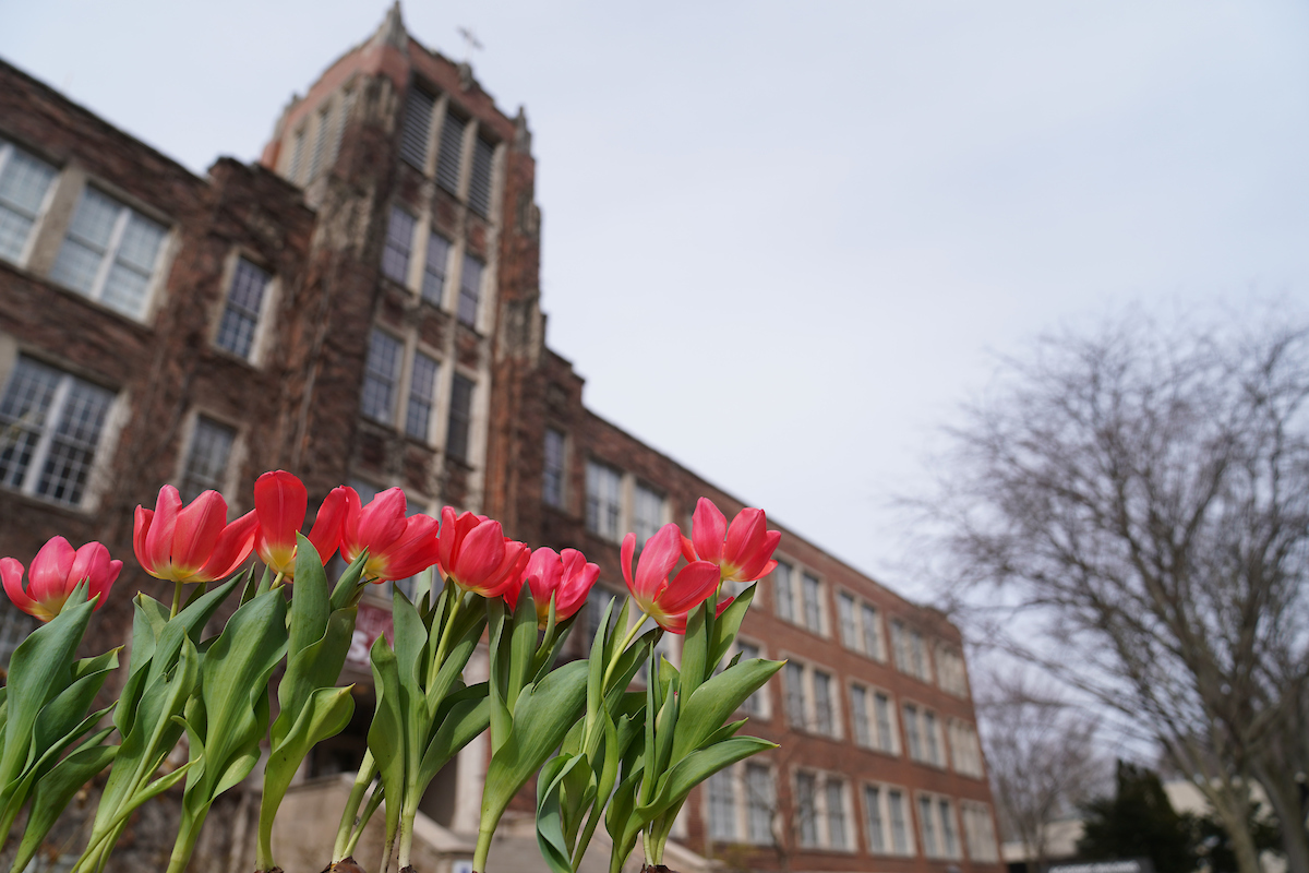 Red tulips outside the brick, ivy-covered Academic Building